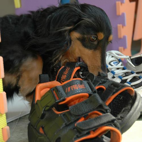 [犬のしつけ]靴を噛む犬