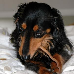 [犬のしつけ]おやつを食べる犬