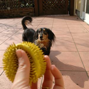 [犬のしつけ]おもちゃにワン!
