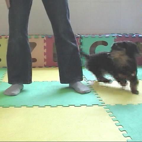 [犬のしつけ]8の字くぐれ!